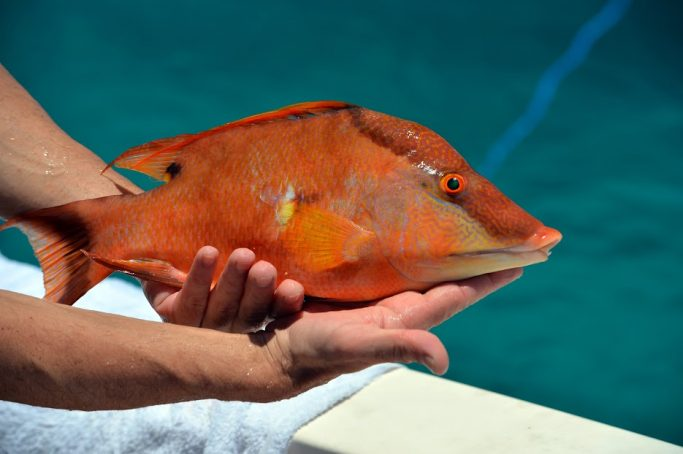 Hogfish - Islamorada - Florida Keys | EverydayMadeFresh.com