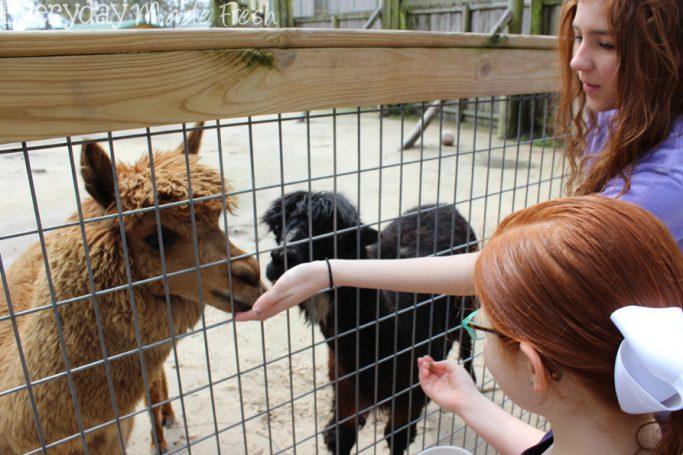 Alabama Gulf Coast Zoo, Gulf Shores Alabama   EverydayMadeFresh.com