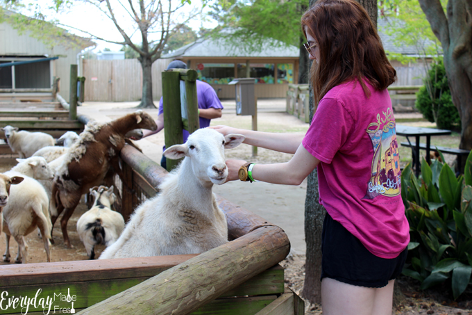 With daily meet a keeper animal talks, train rides, the coolest elevated board walk looking out over 30 acres of wildlife, and the farm; where you can feed and pet a variety of farm animals, I'm sharing our reasons on Why You Should Visit The Gulf Breeze Zoo in Gulf Breeze Florida! | EverydayMadeFresh.com