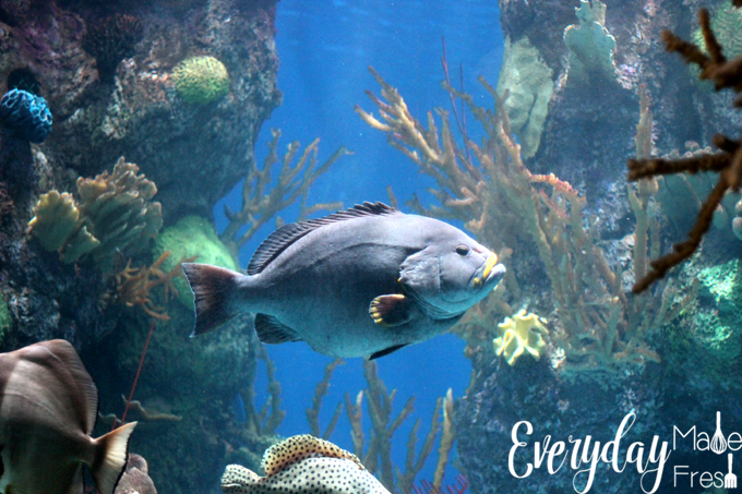 We had the pleasure of checking out Shedd Aquarium in Chicago, when we were visiting for our daughter's Navy boot camp graduation. I've put together this post for all of those that may be Visiting Chicago for PIR Weekend - Shedd Aquarium is a Must See and Do! | EverydayMadeFresh.com